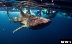 Hiu paus, ikan terbesar di dunia, di South Ari Atoll Maladewa 27 Agustus 2012. (Foto: Reuters / David Loh)