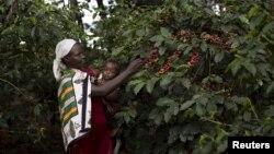 Une femme ramasse des baies de café près de Kiambu, Kenya, 10 novembre 2015.
