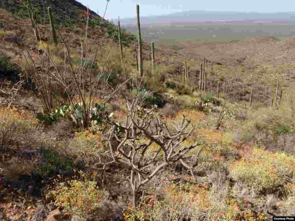 U sušljim, višim područjima Arizone, neke će biljne vrste vjerojatno jedva opstati pod predviđenim zatopljavanjem, dok će se kaktusi proširiti i brojem i proširenošću. (Sarah Studd/National Park Service)