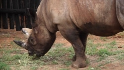 Des cornes de rhinocéros d'une valeur de 3,5 millions de dollars saisies en Afrique du Sud