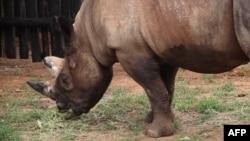 L'un des cinq rhinocéros d'un zoo tchèque réinstallés au Rwanda, le 25 juin 2019.
