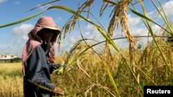 In this 2010 file photo, a farmer works in a rice paddy field outside Phnom Penh, Cambodia. (REUTERS/Chor Sokunthea)