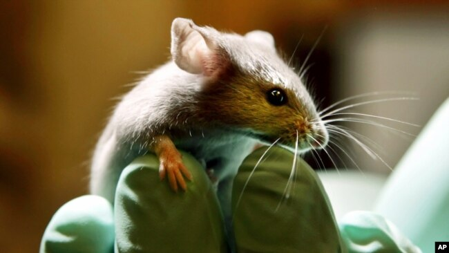 This is a Tuesday, Jan. 24, 2006 file photo of a laboratory mouse as it looks over the gloved hand of a technician at the Jackson Laboratory, in Bar Harbor, Maine. (AP Photo/Robert F. Bukaty, File)