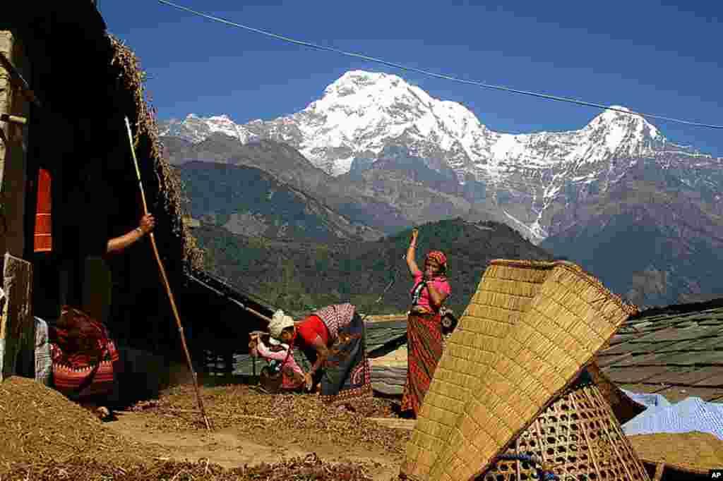 Ảnh đoạt Giải Nhất (Grand Prize) - Các phụ nữ trong thị trấn Ghandruk của Nepal thu hoạch kê (Ảnh: Sirish B.C.)