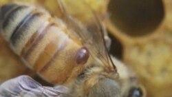 چشم انداز آينده زنبور داری و چالش مقابله با آفات آن