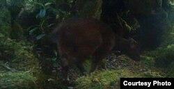 Satwa Anoa yang terpantau kamera trap di dalam kawasan Taman Nasional Lore Lindu pada tahun 2019. (Foto: Balai Besar Taman Nasional Lore Lindu)