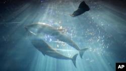 Delfines nadan en un acuario de Okinawa, Japón.