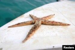 Bintang laut ditemukan mati setelah tumpahan minyak di Mauritius.