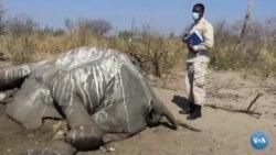 O que matou elefantes no Botsuana?