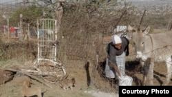 姆佛.马谢勒(Mpho Mashele)的八头驴子是她最珍贵的资产,也是维持家计所需。他们在南非首府比勒陀利亚(Pretoria)北方小农村用驴子运送物品。(美国之音卡西姆拍摄)