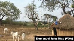 Des jeunes bovins broutent encore l'herbe autour du campement des éleveurs à Botombo, le 12 janvier 2021.