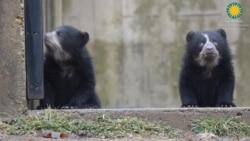 Cachorros de osos andinos