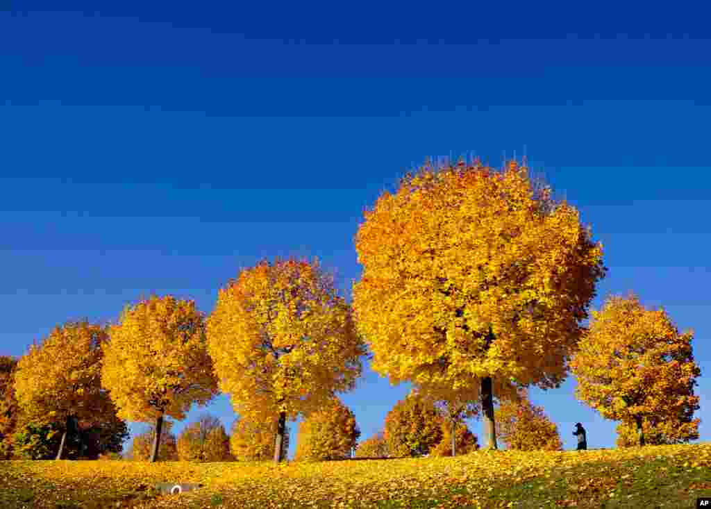 Yellow colored trees stand on a meadow under a blue sky in a park in Frankfurt, Germany.
