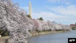 Lễ hội Hoa Anh Đào hàng năm tại Washington là để kỷ niệm món quà hơn 3.000 cây Anh Đào Nhật Bản cách đây gần 100 năm