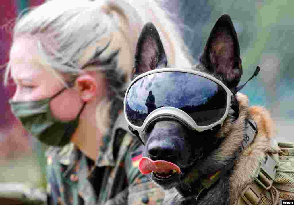Five-year-old sniffing dog Vine wears protection goggles against the sun and dust at the sniffing dogs school of the German Army (Bundeswehr) in Daun, Germany. The school is helping develop a training program to sniff out COVID-19.
