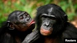 Ba bonobos na esika ya kotelama na bango na Kinshasa, RDC, le 30 octobre 2006.
