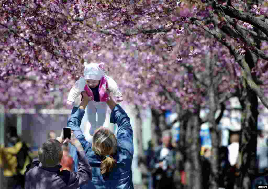 A boy takes pictures of a small baby as the family enjoys the sunny spring weather under the shadow of blooming cherry trees in Kungstradgarden park in central Stockholm.