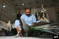 Ahli taksidermi Jahangir Khan Jadoon bersiap membuat boneka merak di bengkel kerjanya di Lahore, 9 Juni 2021. (AFP)