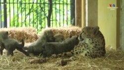 Վիեննայի կենդանաբանական այգում ոչնչացման վտանգի տակ գտնվող վագրակատվի չորս ձագ է ծնվել