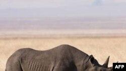 Tê giác là một trong những loài động vật đang có nguy cơ tuyệt chủng