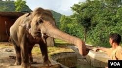 اسلام آباد کے مرغزار چڑیاگھر کے ہاتھی کاون کو کمبوڈیا بھیجا جا رہا ہے۔