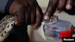 Pawang ular mengeluarkan bisa dari seekor African Puff Adder (jenis ular yang paling banyak ditemui di Afrika) di pusat penelitian dan intervensi gigitan ular di Nairobi, Kenya, 22 Oktober 2019. (Foto: dok).
