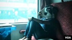 گائے کے ماسک میں ایک خاتون ریل گاڑی میں سفر کے دوران۔