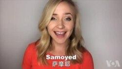 OMG!美语 Samoyed!