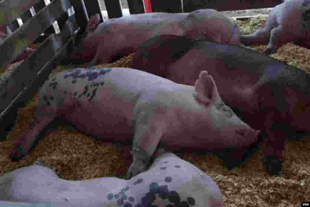 Incluso los cerdos supieron cómo aprovechar la jornada.(Foto: Mariana Ardiles).