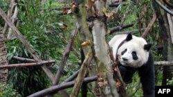 Gấu trúc nô đùa ở khu bảo tồn Panda tại thành phố Đô Giang Yển, tỉnh Tứ Xuyên, tây nam Trung Quốc, 11/1/2011