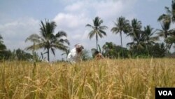 Petani Indonesia terus produktif menanam padi (Foto: dok). Pemerintah RI tetap melakukan impor beras untuk menjaga agar stok beras dalam negeri aman.