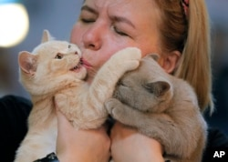 A British shorthair kitten gets a kiss from its owner's during a cat show in Bucharest, Romania, Saturday, Sept. 28, 2019. Hundreds of cats competed in an international cat show recently held in the Romanian capital. (AP Photo/Vadim Ghirda)
