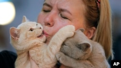 A British shorthair kitten gets a kiss from its owner during a cat show in Bucharest, Romania, Saturday, Sept. 28, 2019. Hundreds of cats competed in an international cat show recently held in the Romanian capital. (AP Photo/Vadim Ghirda)