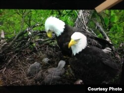 Bald eagles with their young at the U.S. National Arboretum in Washington, March 2016. (Credit: National Eagle Foundation)
