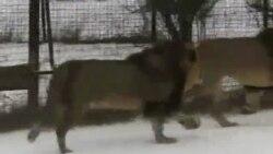 Леви серед українських снігів