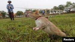 Một con chuột đang được đào tạo tại Trung tâm Hành động Bom mìn Campuchia (CMAC), tỉnh Siem Reap hôm 09/07/2015.