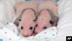 Mei Lun y Mei Huan a poco de nacer en el zoológico de Atlanta, ahora al llegar a los 100 días de vida recibieron sus nombres.
