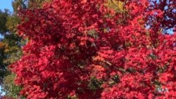 Spectacular Autumn Leaves Peak in the Washington Area