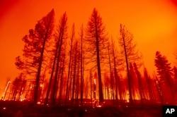Pohon terbakar setelah petugas pemadam kebakaran melakukan operasi penembakan untuk memperlambat penyebaran Dixie Fire di Plumas County, California, Selasa, 3 Agustus 2021.