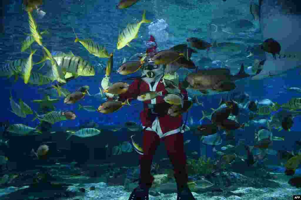 អ្នកមុជទឹកស្លៀកជាឈុត Santa Claus កំពុងដាក់ចំណីឲ្យត្រីនៅក្នុងអាងទឹកមួយនៅក្នុងសួនមហាសមុទ្ររដ្ឋធានីម៉ានីល។