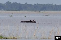 Arhiva - Jednorogi nosorog probija se kroz plavne vode prirodnog reservata Pobitora u indijskoj severoistočnoj državi Asam.