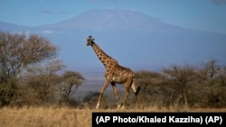 A giraffe walks in Amboseli national park, Kenya. Giraffes seemed to be everywhere but now are vulnerable to disappearing completely, according to the new Red List report.(AP Photo/Khaled Kazziha)