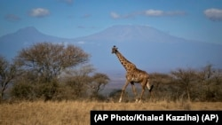 A giraffe marche dans le parc national de Amboseli au Kenya, le 18 août 2016.