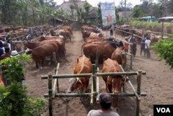 Puluhan ternak sapi yang menjalani pemeriksaan dan sebagian yang akan dilakukan kawin suntik di lapangan Desa Wonoayu, Kabupaten Malang, Jawa Timur. (Foto: VOA/Petrus)