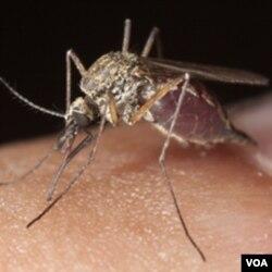 Hampir semua nyamuk di Uganda utara membawa malaria.