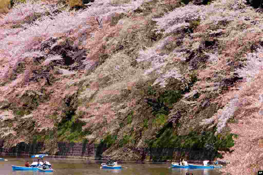 People row boats under the canopy of the cherry blossoms at the Imperial Palace moat in Tokyo. Japan gave 3,020 cherry blossom trees as a gift to the United States in 1912 to celebrate the nations' then-growing friendship. (AP)