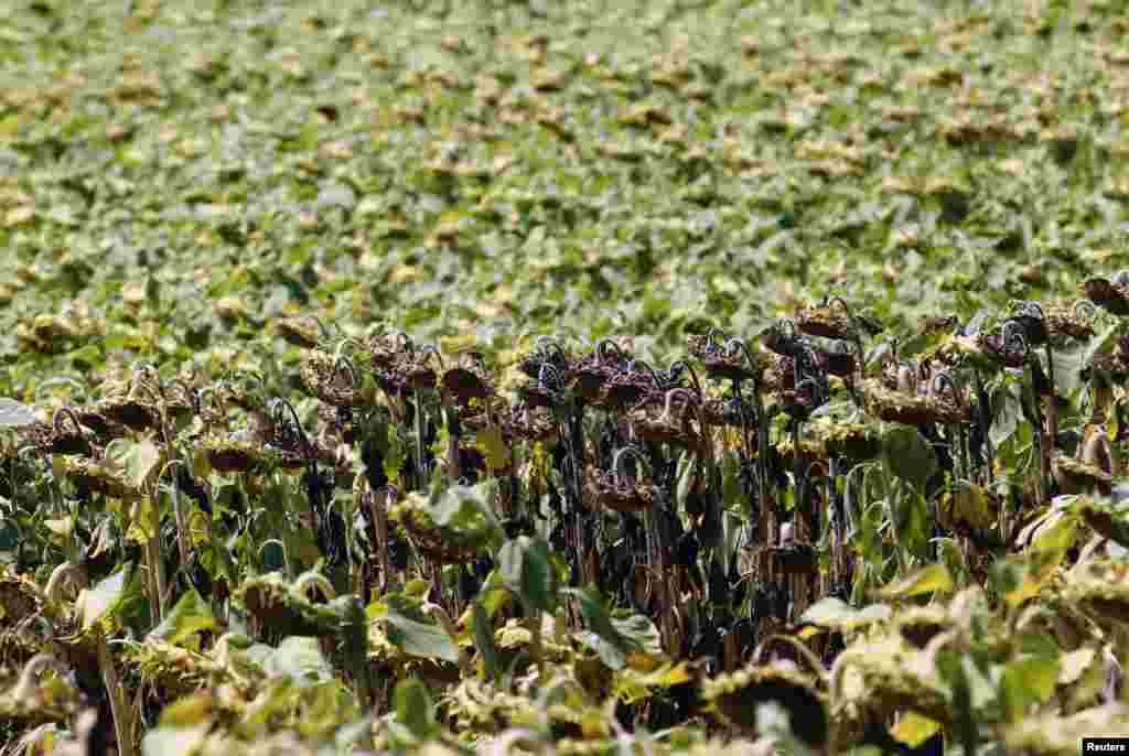 Dry sunflowers are pictured on a field near Grossengersdorf in Lower Austria province.