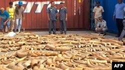 Pihak berwenang Kamboja menyita 3 ton gading Afrika dalam peti kemas tanpa keterangan di pelabuhan Phnom Penh (13/12).