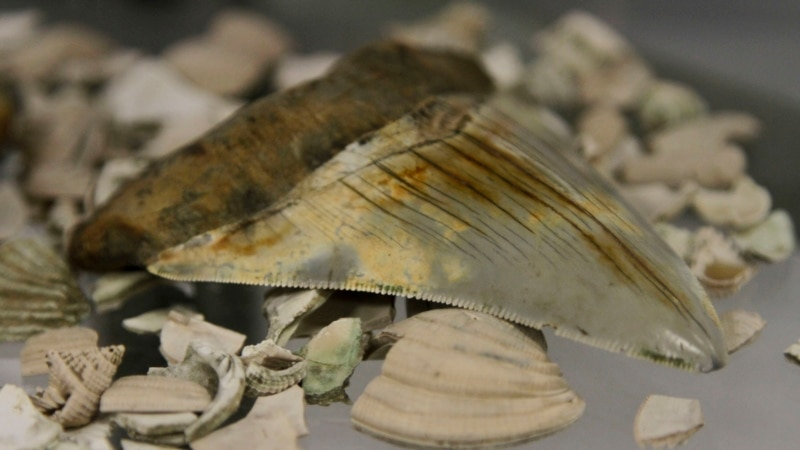 Prehistoric Giant Shark Tooth Stolen in Australia