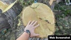 Kəsilmiş ağac